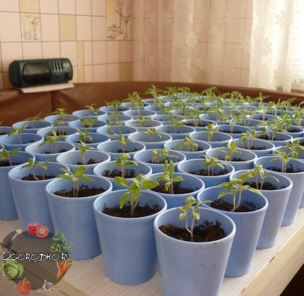 Как пикировать томаты