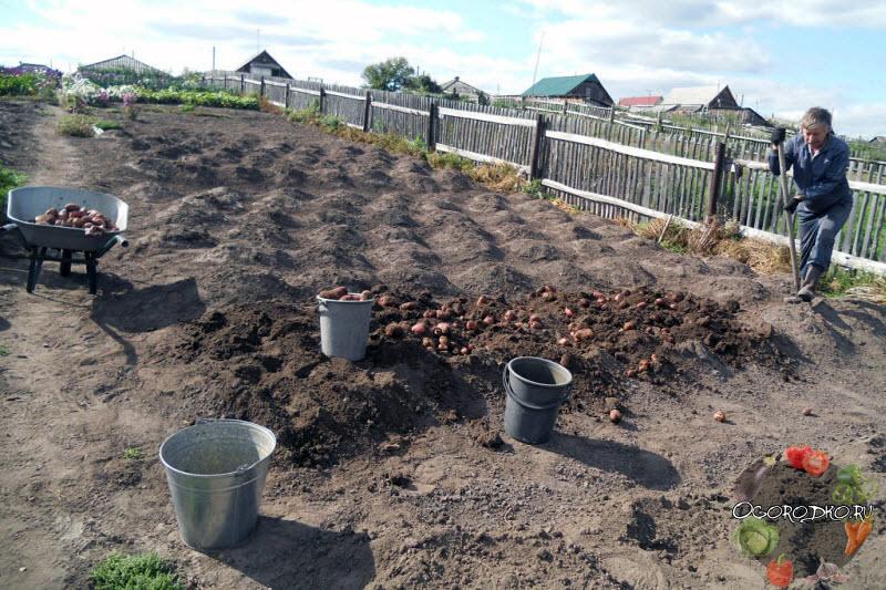 Когда копать картошку, рекомендации, советы
