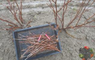 Обрезка смородины осенью – этапы и особенности в зависимости от сорта
