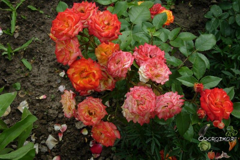 Роза Флорибунда Румба (Rose Rumba)