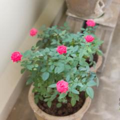 Роза комнатная – уход в домашних условиях