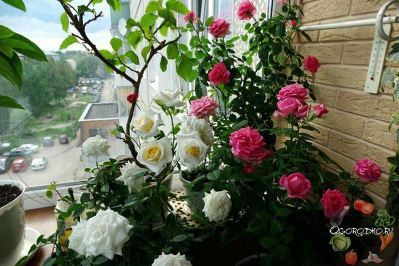 Розы комнатные на балконе