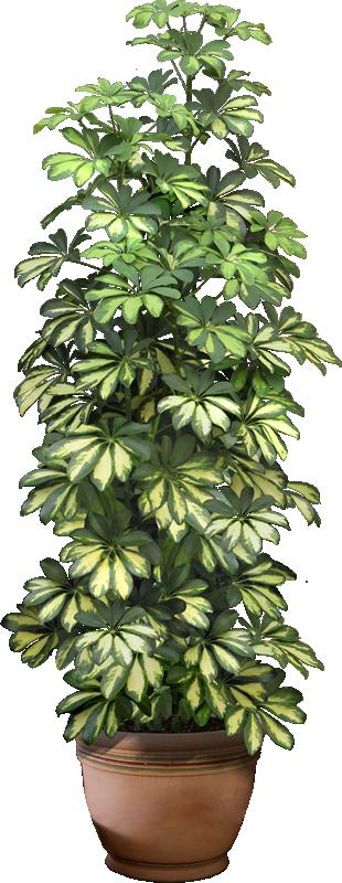 Шефлера – цветок, уход в домашних условиях за которым не составит труда