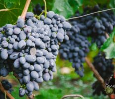 Виноград Кодрянка – популярный гибридный сорт