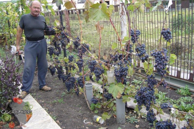 Виноград Кодрянка урожай