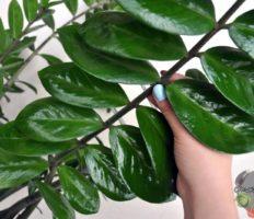 Замиокулькас – уход в домашних условиях, заболевания и борьба с вредителями