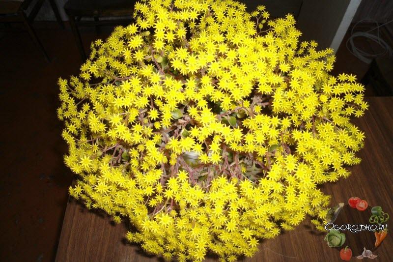 Аихризон цветение фото