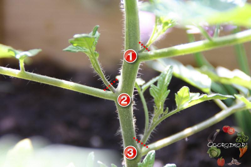 как обрывать пасынки у помидоров
