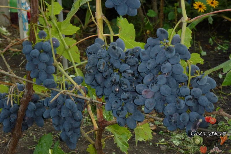 Кодрянка виноград описание с фото