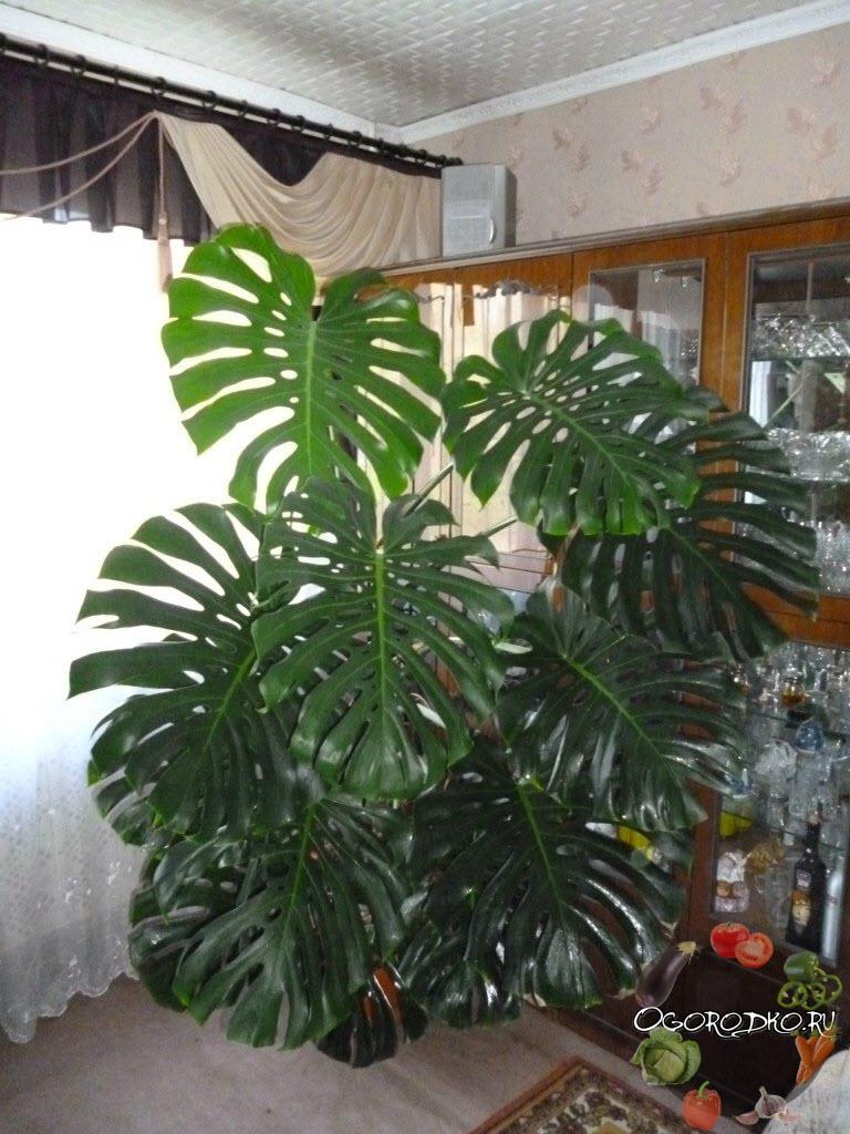 Монстера: уход в домашних условиях и пересадка взрослого растения