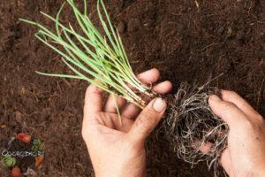 Как сажать лук сеянец в открытый грунт 60