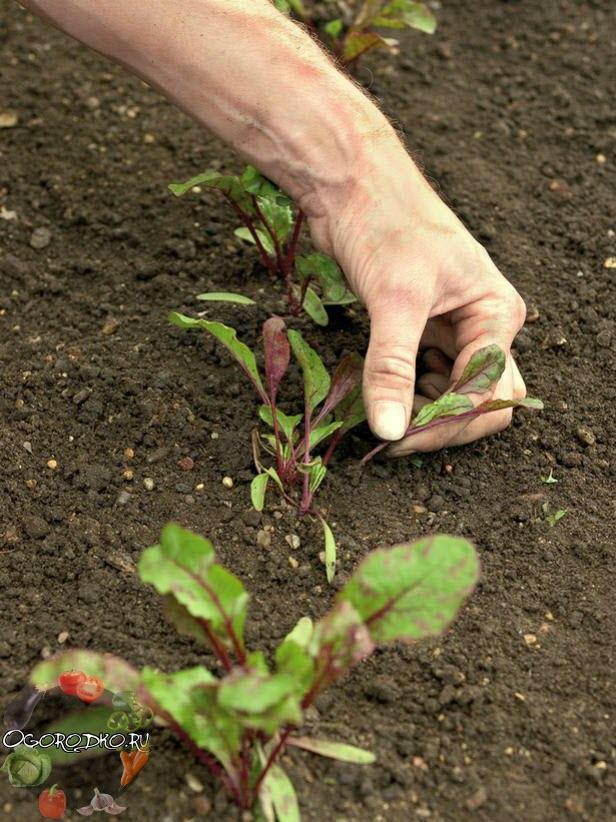 Как сажать свеклу в открытый грунт рассадой 56