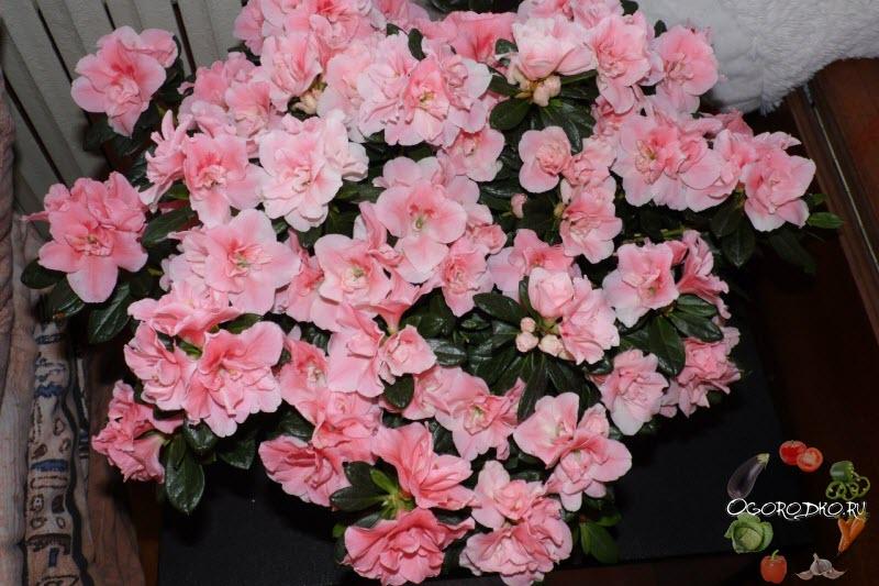 цветение Азалии на фото