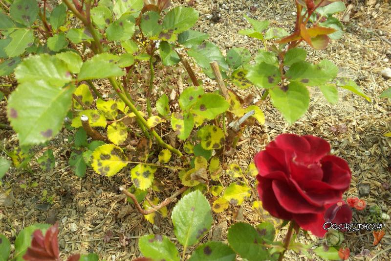 На розах мучнистая роса и пятна