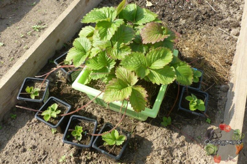 Почему снижается урожайность клубники