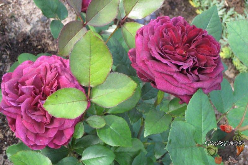 роза The Prince
