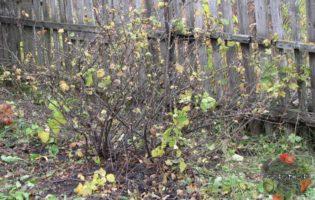 Уход за смородиной осенью – забота о будущем урожае!