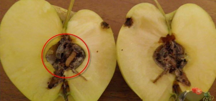 Яблонная плодожорка – как прогнать вредителя из сада?