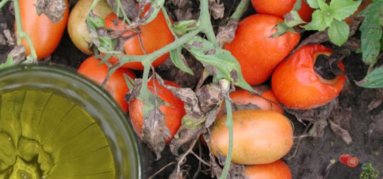 Спасите свои томаты и купите дешевый фурацилин из аптеки!