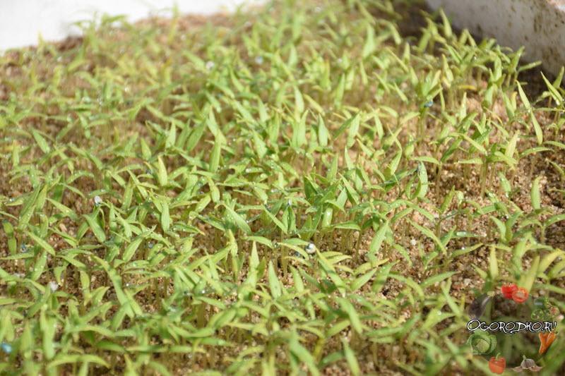 как вырастить сеянцы