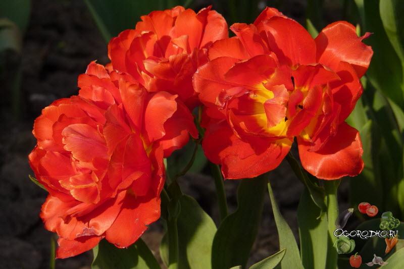 тюльпан сорт Абба