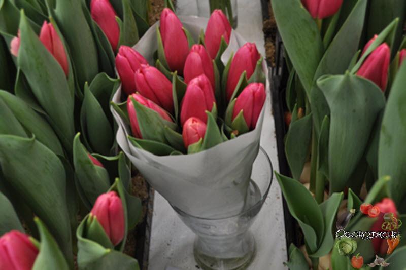 тюльпан сорт Аруба
