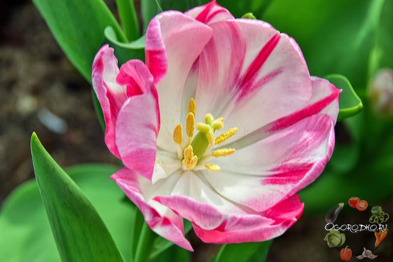 тюльпан сорт Карамба