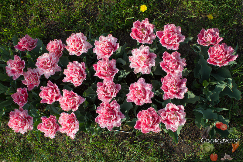 тюльпан сорт Квинсленд