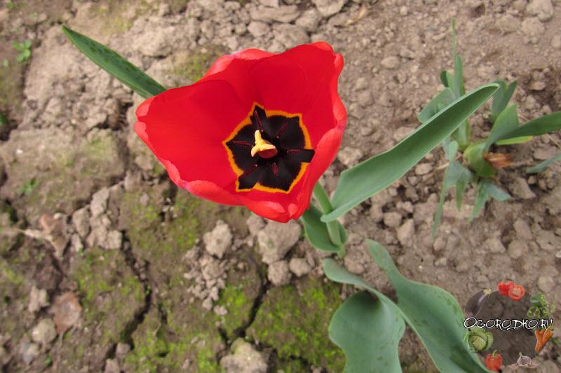 тюльпан сорт Лондон