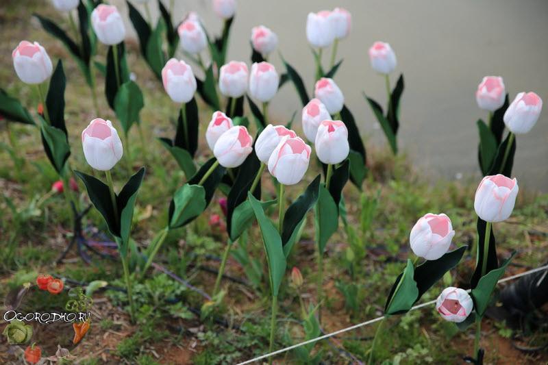 тюльпаны для выгонки