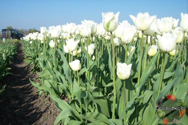 тюльпаны сорт Альбатрос