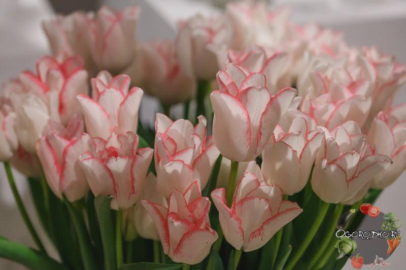 на фото тюльпаны сорт Бьюти Тренд