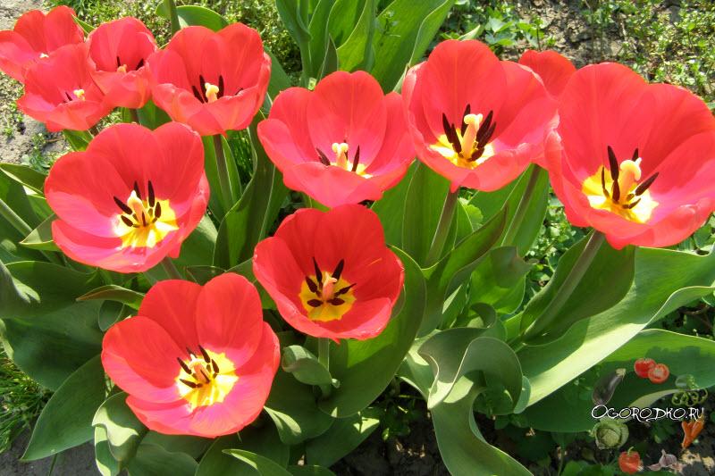 тюльпаны сорт Оксфорд