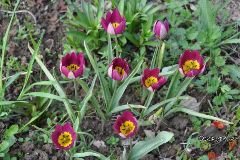 тюльпаны сорт Персиан Перл