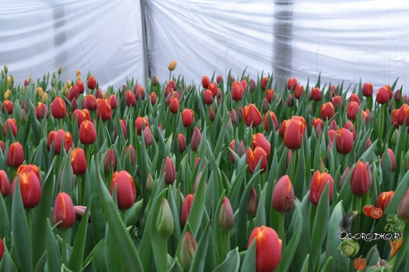 тюльпаны сорт Веранди