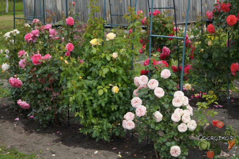 выращивания роз Остина
