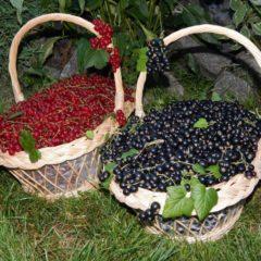 Черная смородина, полезные свойства