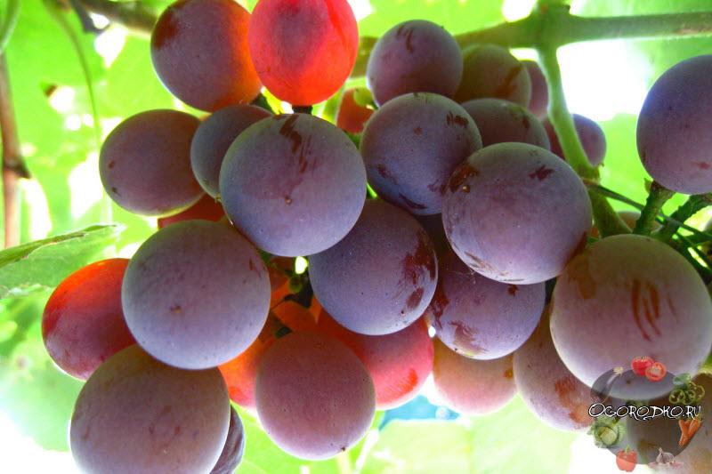 виноград Лидия фото, отзывы виноградарей