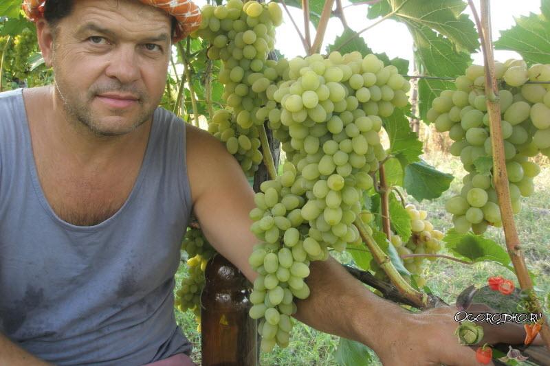 Виноград Аркадия – описание сорта, фото, отзывы и основные правила ухода