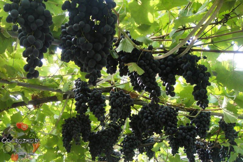 виноград молдова описание сорта фото отзывы