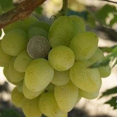 виноград монарх описание сорта фот
