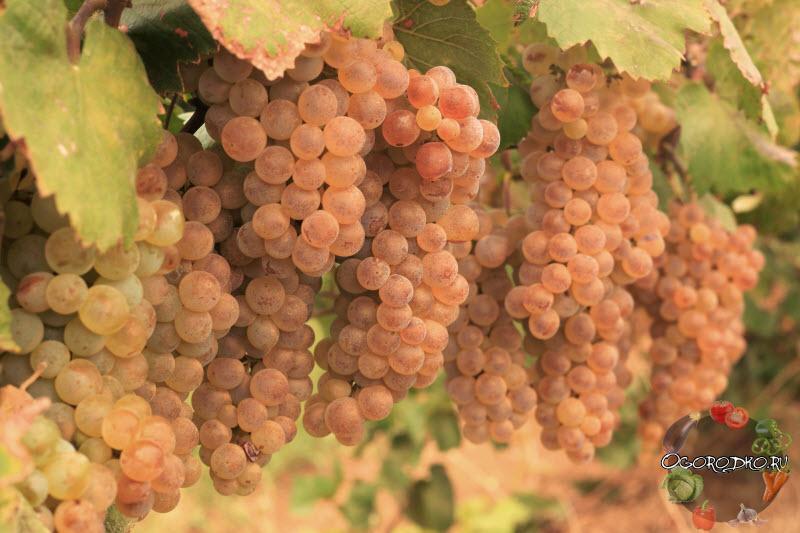 Виноград – сорта, характеристики, каталоги самых популярных разновидностей