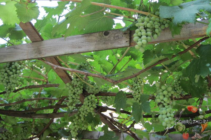 виноград сорта Асма