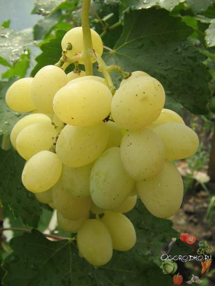 виноград сорта Кеша 1