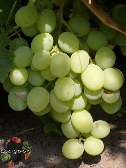 виноград сорта Кеша 2