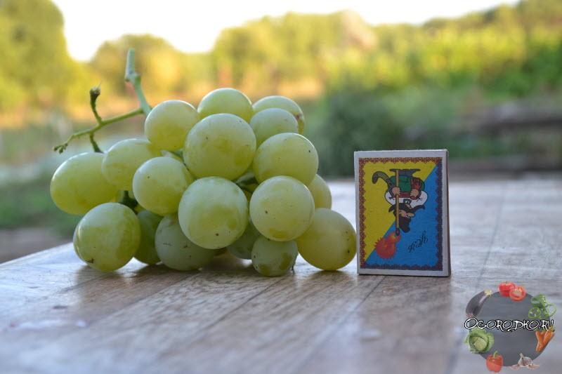 виноград сорта Кеша