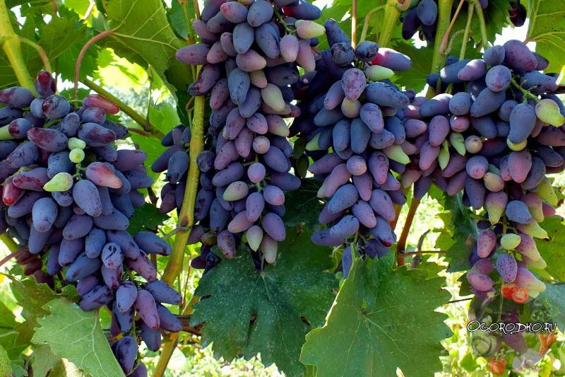 виноград сорта Сувенир