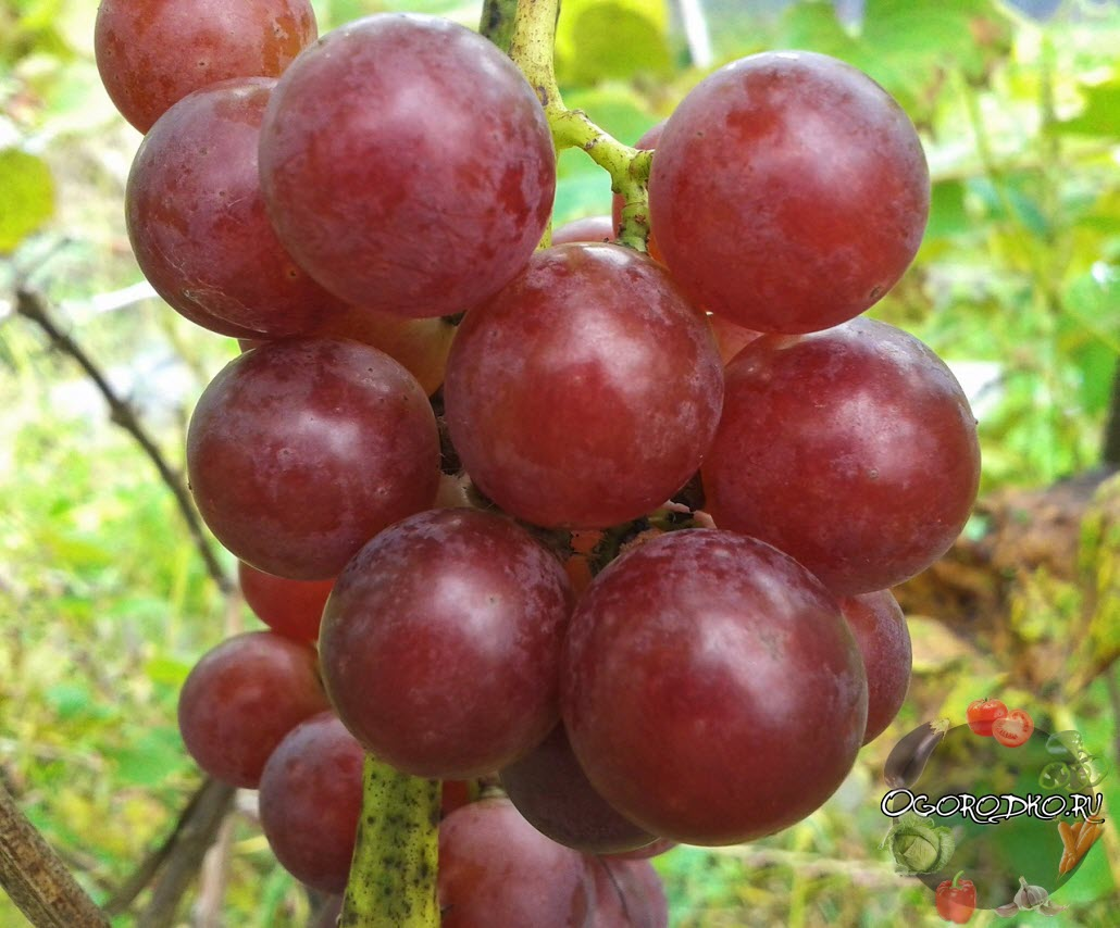 виноград сорта Вислоухий