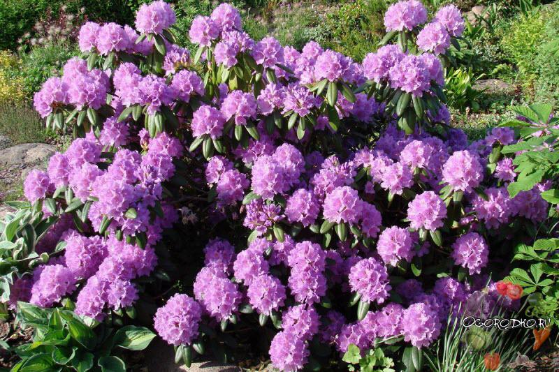 добиться цветения рододендрона