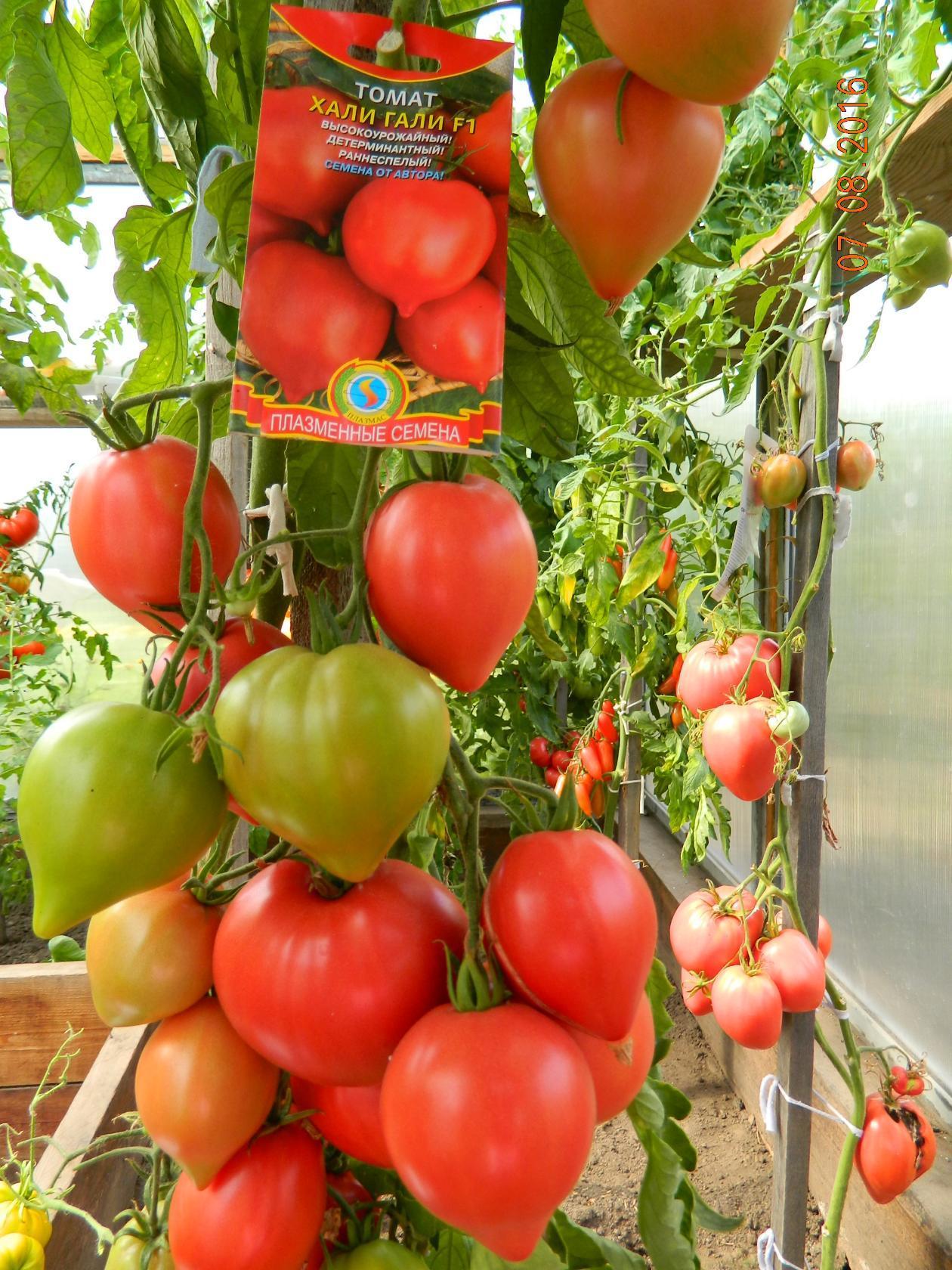 Сорт помидор подарок коммерсанта 87